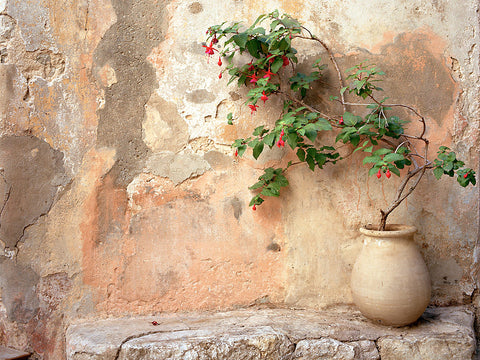 Fuchsia in Pot- Eze(Provence), France