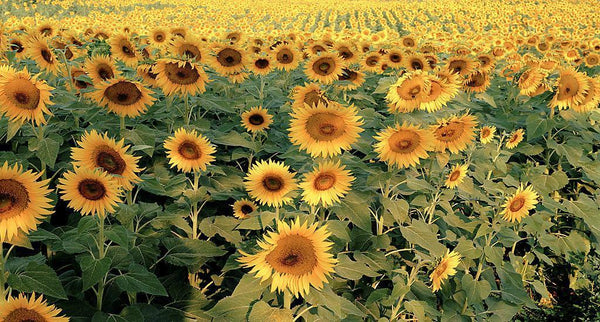 Sunflowers - Tuscany, Italy