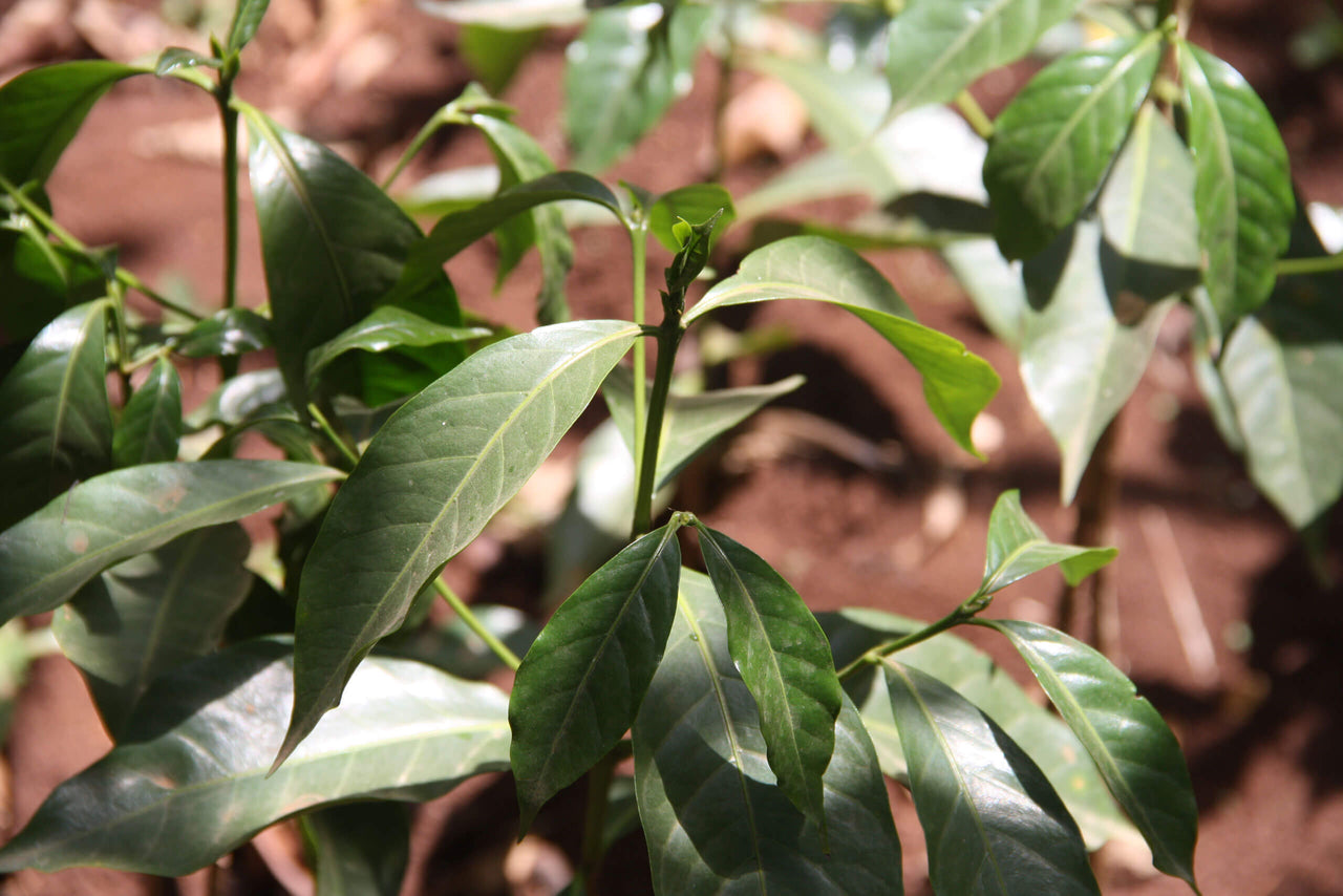 close up of leaves of coffee plant