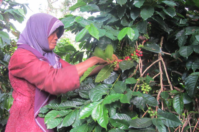 people picking coffee beans