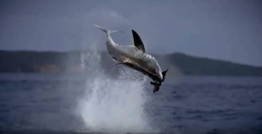 Amazing footage of this leaping Great White!