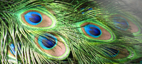 Peacock feather christian symbol christianity