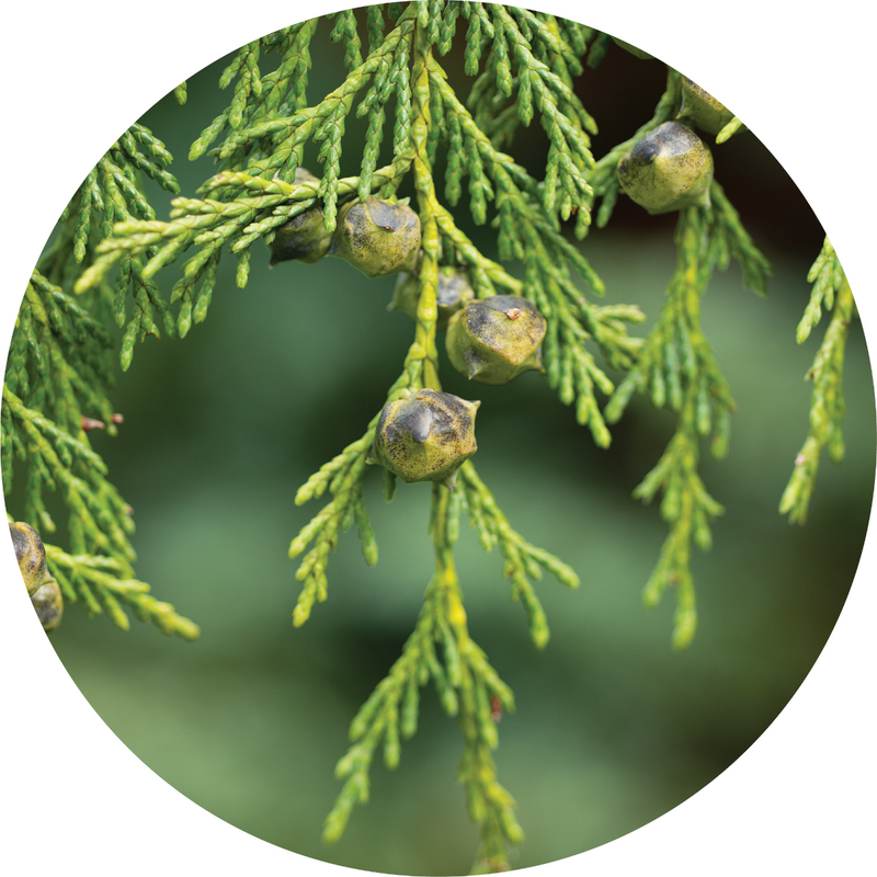 Living Libations Cypress Essential Oil - Anise Modern Apothecary