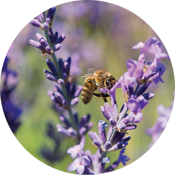 Living Libations Lavender Essential Oil - Anise Modern Apothecary
