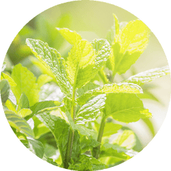 Living Libations Peppermint Essential Oil - Anise Modern Apothecary