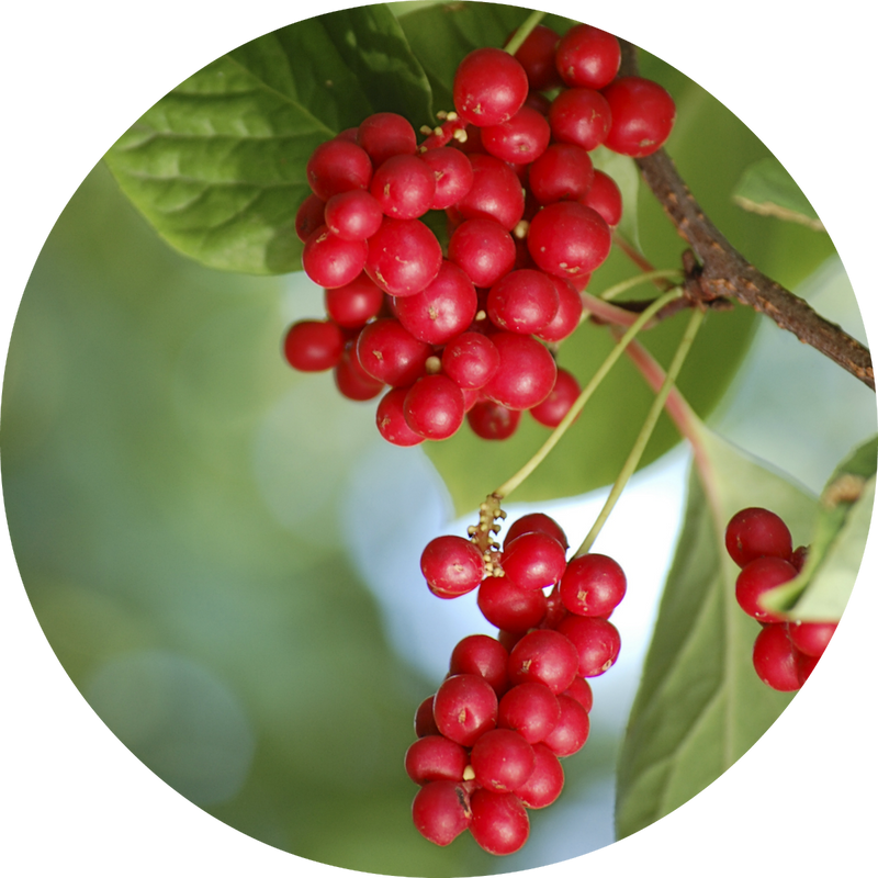 Living Libations  Schizandra Berry Essential Oil - Anise Modern Apothecary