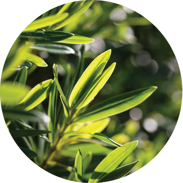Living Libations Tea Tree Essential Oil - Anise Modern Apothecary