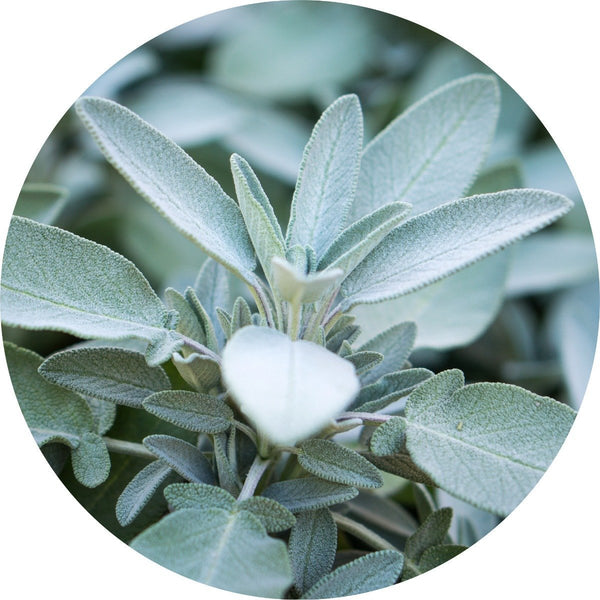 Living Libations White Sage Essential OIl - Anise Modern Apothecary