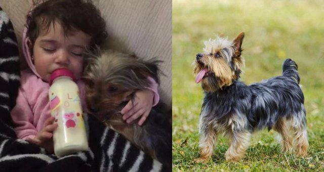 14 Reasons To Be Thankful To Have Your Yorkie In Your Life