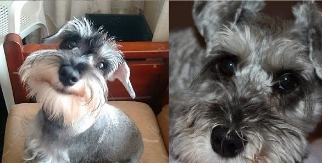 9 Signs Your Schnauzer Loves You Too Much and He's OBSESSED