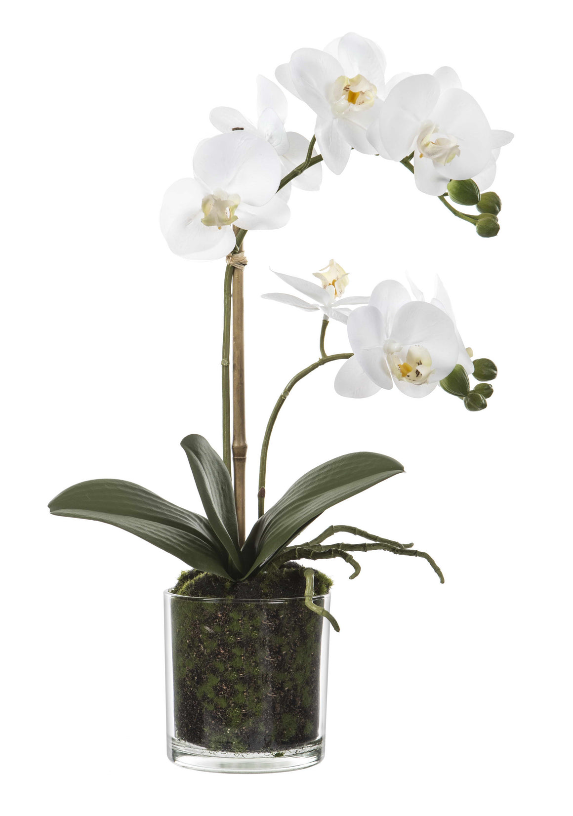 Orchid in Glass Pot w/Moss