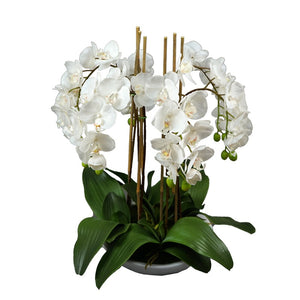 65cm Orchid in White Pot