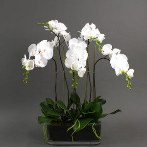 60cm Phal Orchid in Glass Vase