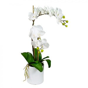 60cm Phal Orchid in White Pot
