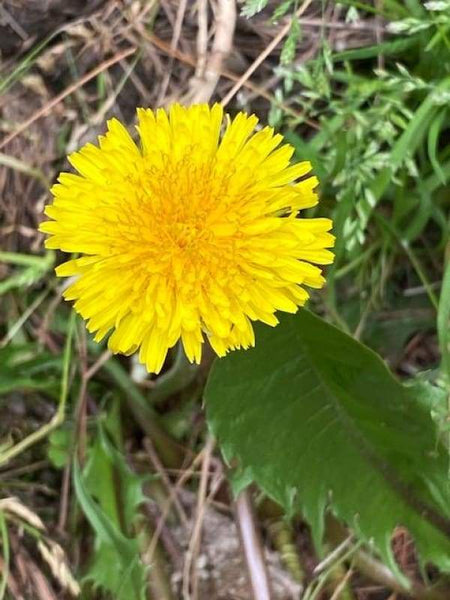 Dandelion | Photograph | Size: 8x10 | No Frame - Photography