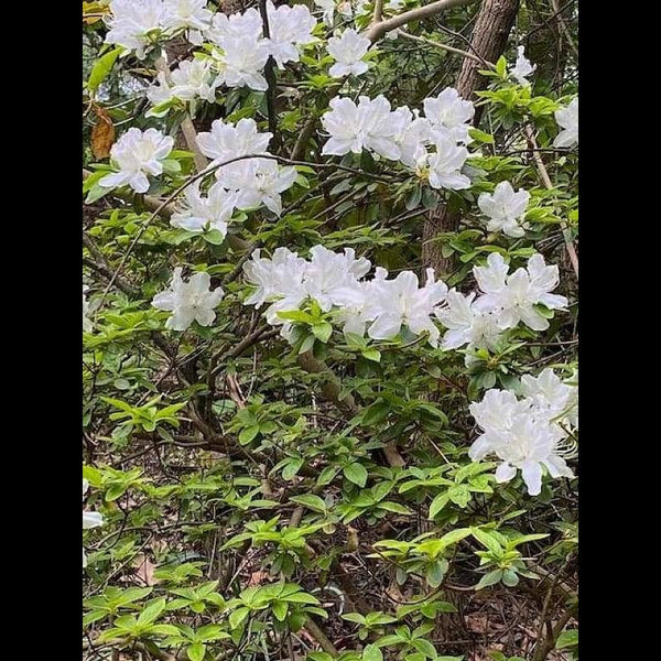 White Flower Bush | Photograph | Size: 8x10 | No Frame - Photography