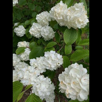 White Flowers | Photograph | Size: 8x10 | No Frame - Photography