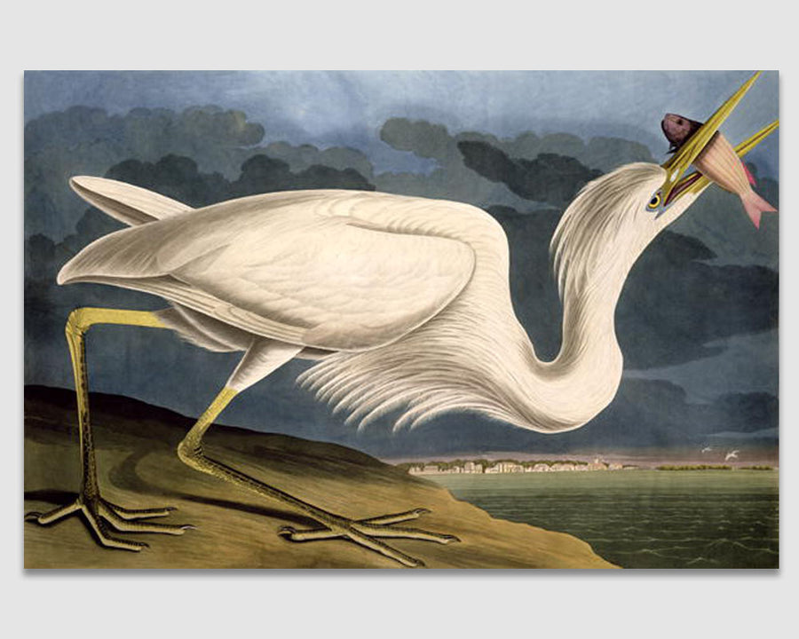 Great White Heron - John James Audubon