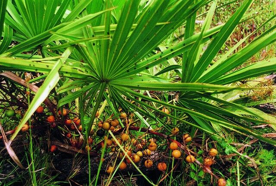 Is Saw Palmetto really good for hair loss?