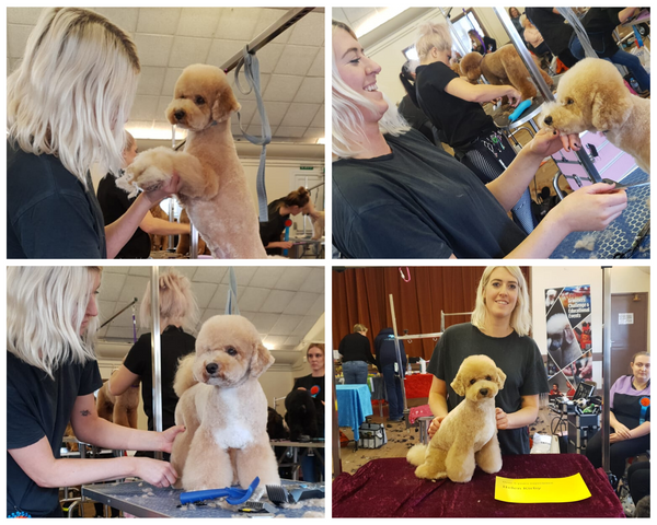 Bone Idol Award Winning Grooming Brighton Poochon