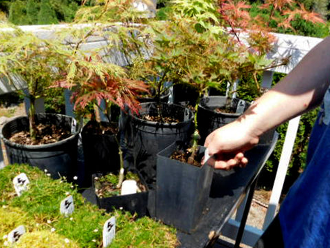 Miniature Japanese Maples