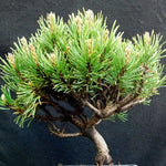 Pinus mugo SLOWMOUND