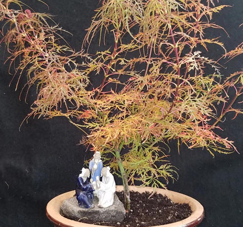 Acer palmatum dissectum 'BABY LACE' LOW GRAFT