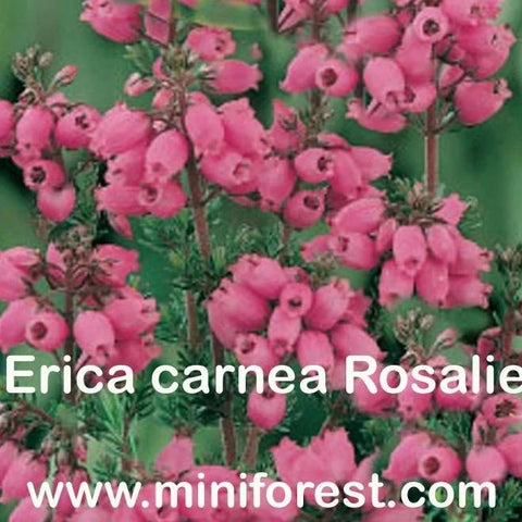 Erica carnea Rosalie Heather in Bloom Now