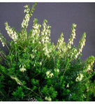 Erica carnea Schneekuppe Heather