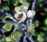 Muehlenbeckia complexa MINI FAIRY VINES