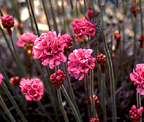 Armeria maririma 'Rubrifilia' RED LEAF SEA THRIFT