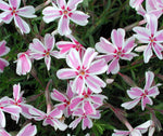 Phlox sublata 'CANDY STRIPE'