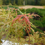 Acer palmatum dissectum 'BABY LACE' HIGH GRAFT