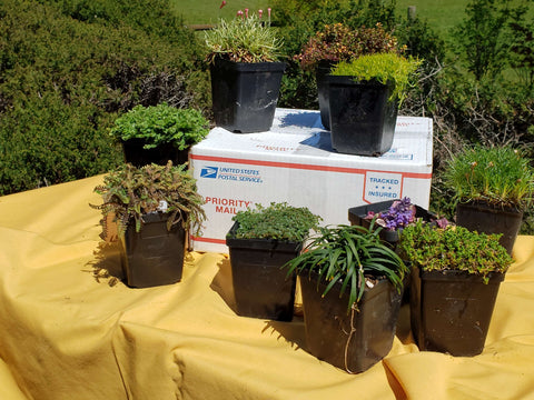 Ground Cover Sampler  Spring Shipping Only