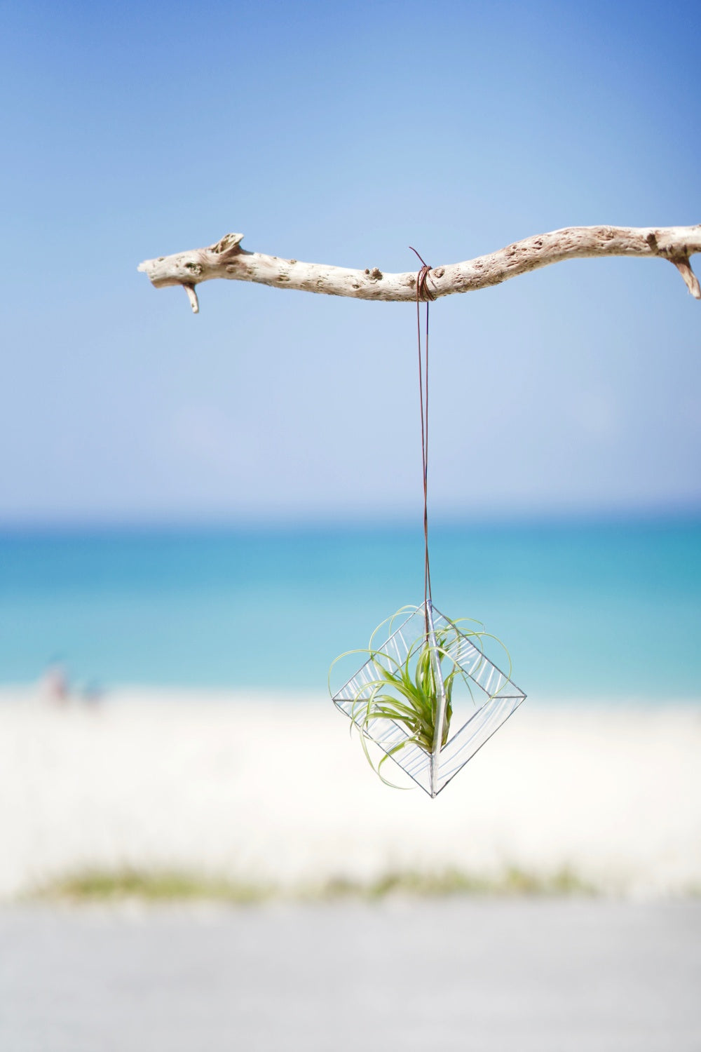 [NEW] Air Plants Hanging - Clear