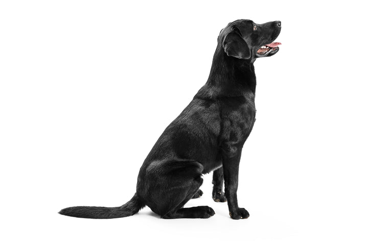 Labrador Retrievers: What You Need To Know