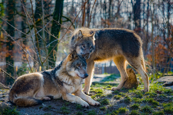 The Domestication of Wolves