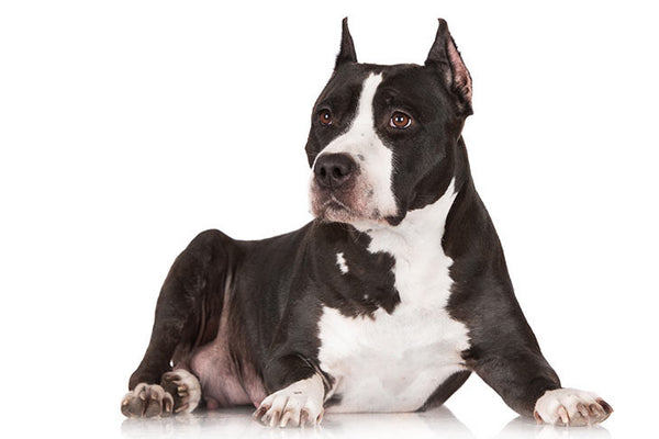 American Staffordshire Terrier AKC photo credit