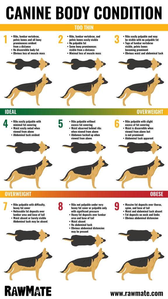 Canine Body Condition Score Chart is your dog obese?