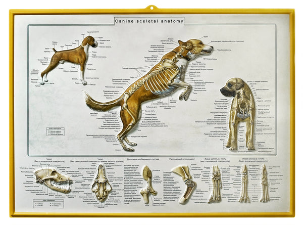 Canine Skeletal Chart in Russian