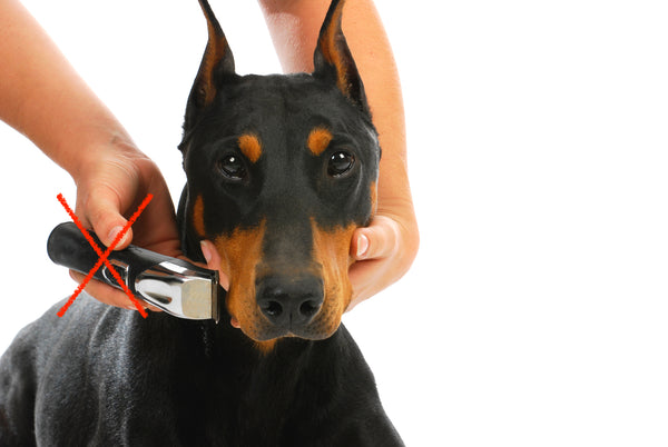 Doberman being groomed by having whiskers clippered off face