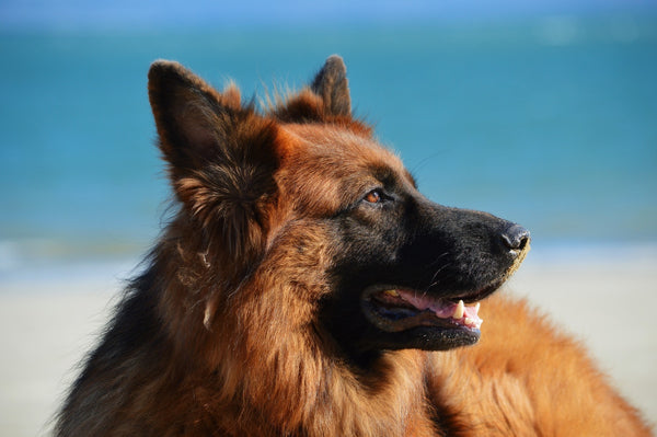 German Shepherd on Beach Looking into distance