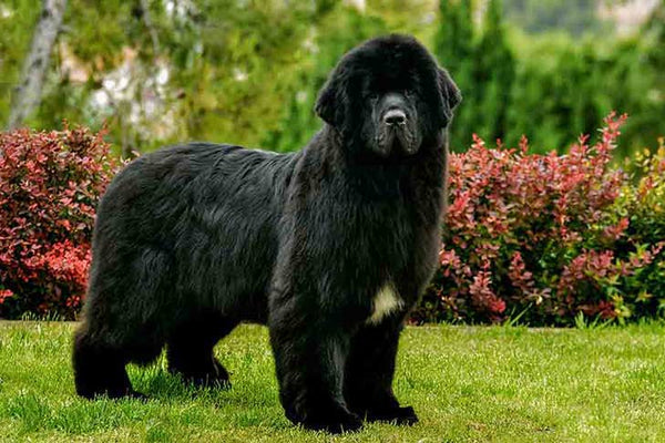 Newfoundland dog AKC photo credit