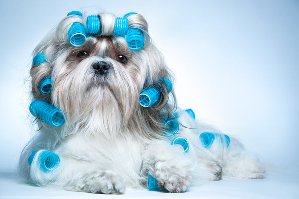 Blond Silky Terrier with blue curling rollers in her hair