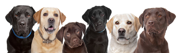 Six Labrador Retrievers in alternating colours looking at the camera