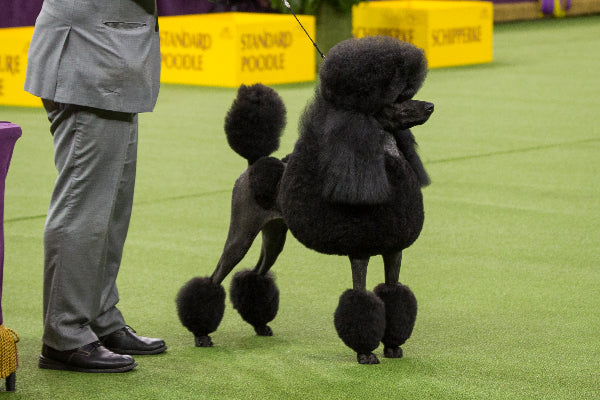 Standard Poodle Photo Credit Dogster