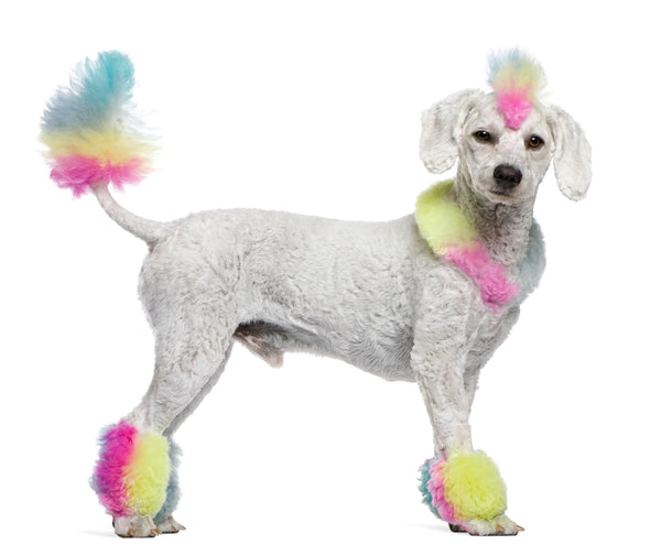 A recently groomed standard poodle in white with dyed hair highlights on paws head and tail