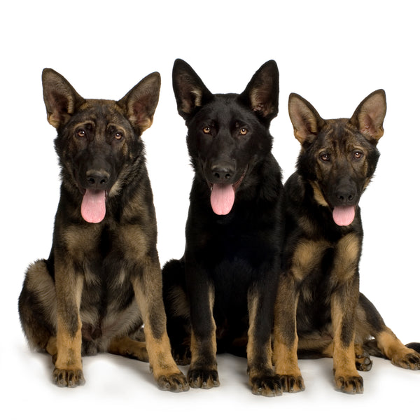 Working Dogs 3 x working line german shepherd puppies at 10 weeks old