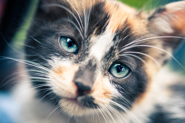 Beautiful big blue eyed cats white whiskers