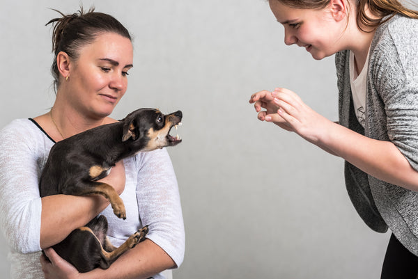 woman holding agressive small dog who has an attitude problem and baring teeth at another lady